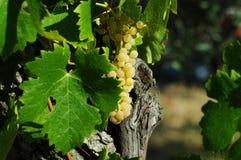 Raisins blancs sur des vignobles dans la région de chianti tuscany images libres de droits