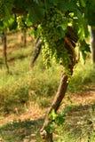 Raisins blancs sur des vignobles dans la région de chianti tuscany photos stock