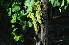 Raisins blancs sur des vignobles dans la région de chianti tuscany photo stock