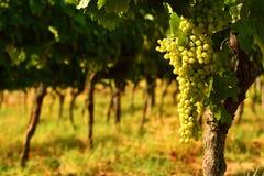 Raisins blancs sur des vignobles dans la région de chianti tuscany photographie stock