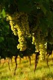 Raisins blancs sur des vignobles dans la région de chianti tuscany photographie stock libre de droits