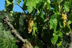 Raisins blancs sur des vignobles dans la région de chianti tuscany images stock