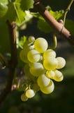 Raisins blancs sur la vigne Photos libres de droits