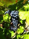 Raisins bleu-foncé Photographie stock
