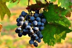 Raisins bleus Photographie stock libre de droits