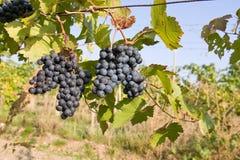 Raisins bleus photo stock