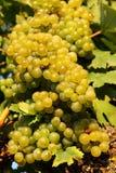 Raisins chevronnés dans la vigne Photos libres de droits