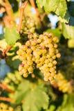 Raisins chevronnés dans la vigne Photo libre de droits