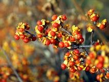 Raisins d'automne Image stock