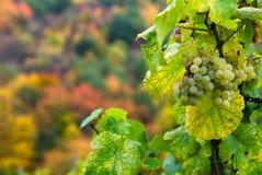raisins d'automne Photographie stock libre de droits