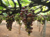 Raisins dans la plantation Photographie stock libre de droits