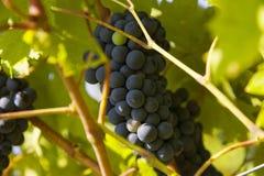 Raisins dans la récolte d'automne Photo libre de droits