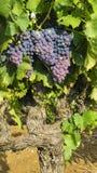 Raisins dans la vigne photos stock