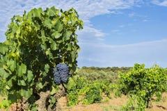Raisins dans la vigne photos libres de droits