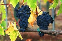 Raisins dans la vigne de la Toscane Photo libre de droits
