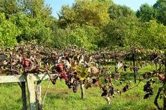 Raisins dans le cordon vif d'herbe Image libre de droits