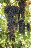 Raisins dans le jardin Photos libres de droits