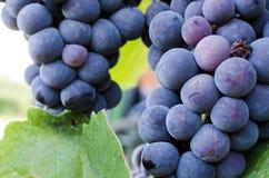 Raisins dans le vignoble Photos libres de droits
