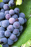Raisins dans le vignoble Images libres de droits