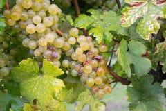 Raisins dans le vignoble Image libre de droits