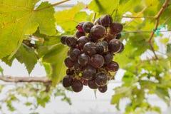 Raisins dans le vignoble Photo libre de droits