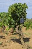 Raisins dans le vignoble dans les Frances photos libres de droits