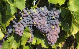 Raisins dans le vignoble dans les Frances photos stock