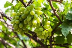 Raisins dans le vignoble un jour ensoleillé Photographie stock