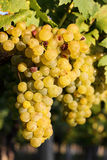 Raisins dans les vignes Photo libre de droits