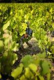 Raisins dans les vignobles avant récolte Photographie stock