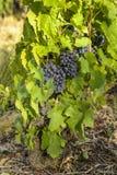 Raisins dans les vignobles avant récolte Photos libres de droits