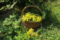 Raisins dans un panier Photo stock
