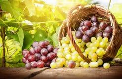 Raisins dans un panier Photographie stock