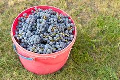 Raisins dans un seau Photos stock