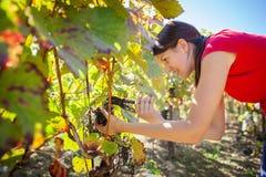 Raisins dans un vignoble moissonné par un négociant en vins féminin Photo libre de droits
