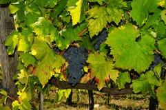 Raisins dans un vignoble vert dans le chianti, région de la Toscane images stock