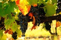 Raisins dans un vignoble vert dans le chianti, région de la Toscane photo stock