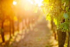 Raisins de blancs et x28 ; Pinot blanc et x29 ; dans le vignoble pendant le lever de soleil Image libre de droits