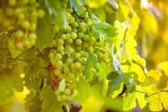 Raisins de blancs et x28 ; Pinot blanc et x29 ; dans le vignoble pendant le lever de soleil Images stock