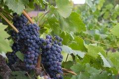 Raisins de Cabernet entourés par des lames de raisin Images stock