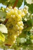 Raisins de chardonnay Photographie stock libre de droits