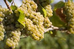 Raisins de chardonnay dans la vigne Images libres de droits