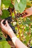 Raisins de cueillette Photographie stock