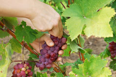 Raisins de cueillette Photographie stock libre de droits