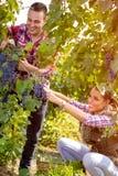 Raisins de cueillette de travailleur de couples dans le vignoble Image stock