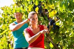 Raisins de cueillette de viticulteur au temps de récolte Photographie stock