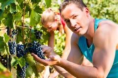 Raisins de cueillette de viticulteur au temps de récolte Images libres de droits