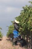 Raisins de cueillette, Stellenbosch, Afrique du Sud Image stock