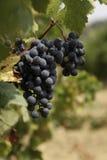 Raisins de cuve Images stock