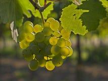 Raisins de cuve Photo stock